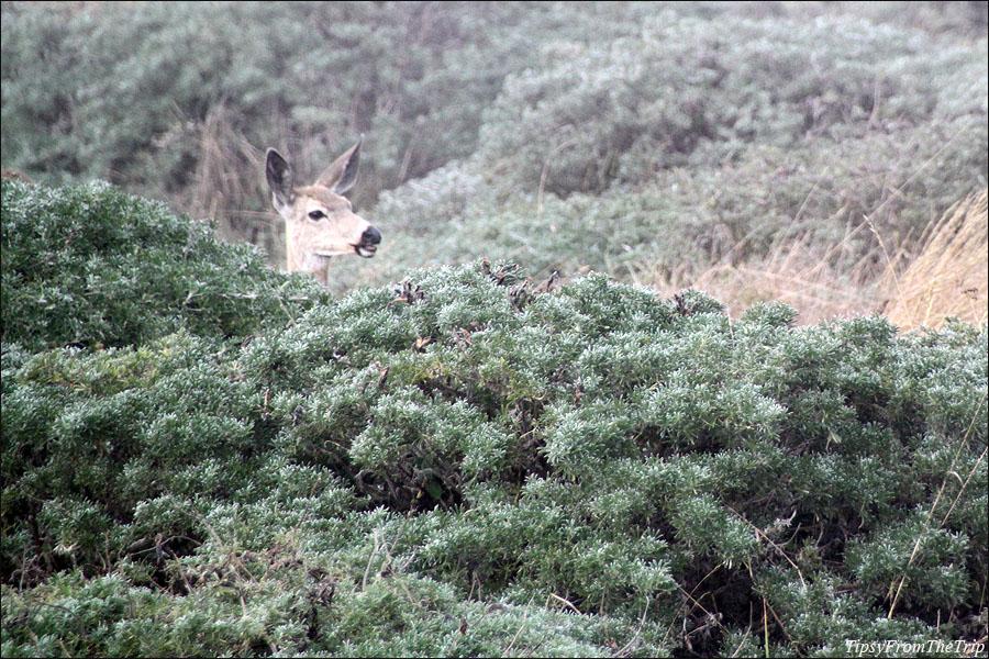 Deer at Point Reyes