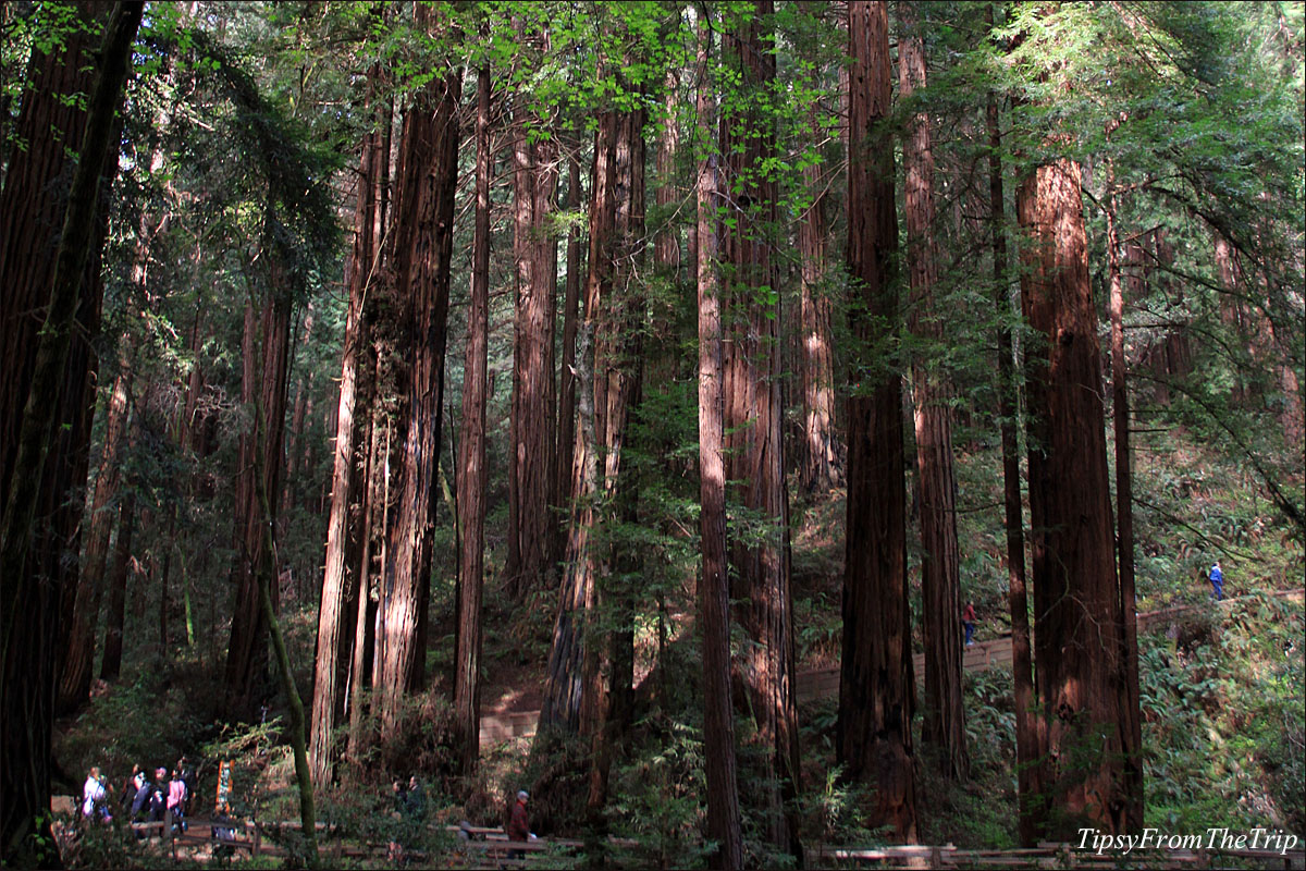 Coastal Redwood at Muir Woods, CA