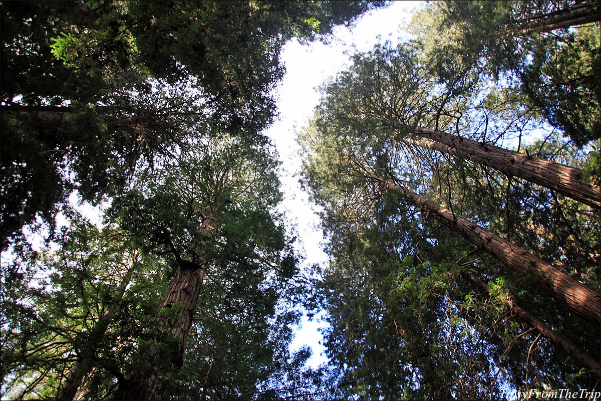 Sequia Sempervirens or the Coastal Redwoods