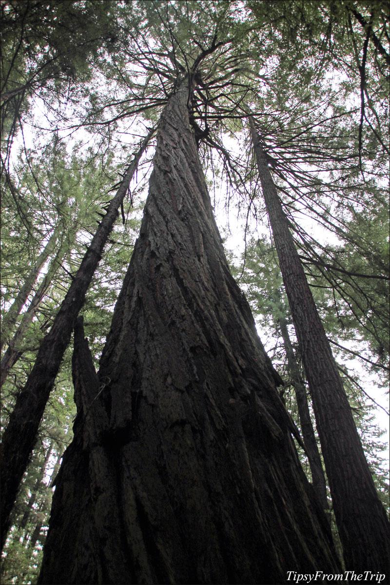 Coast Redwood, Muir Woods.