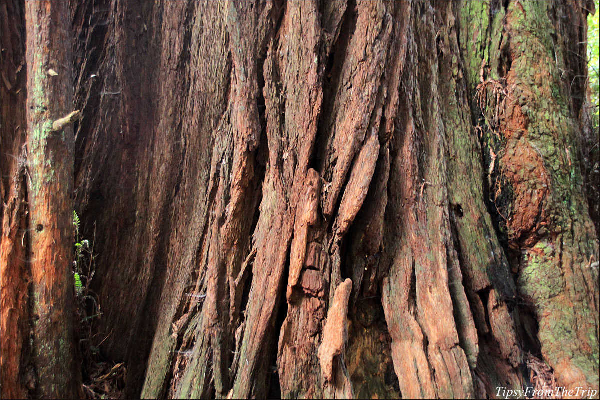 The tree trunk of a Coast Redwood in Muir Woods.